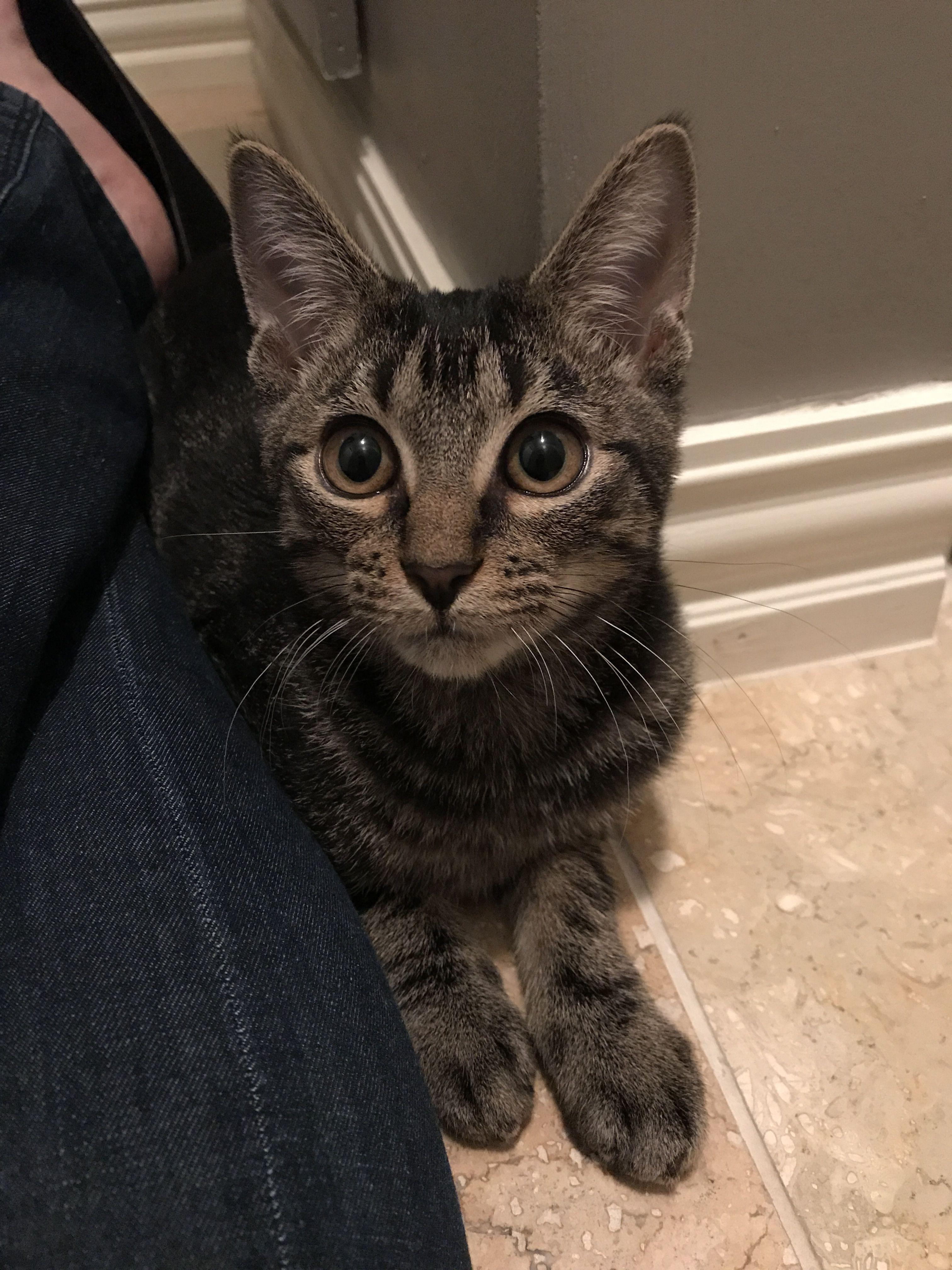 Parker Is A 4 Month Old Tabby Kitten Tabby Kitten Cats Tabby