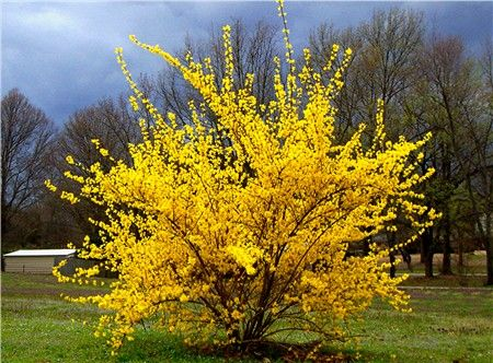 Forsythia - blooms very, very early in spring on old wood. I have it -- deer don't eat it.