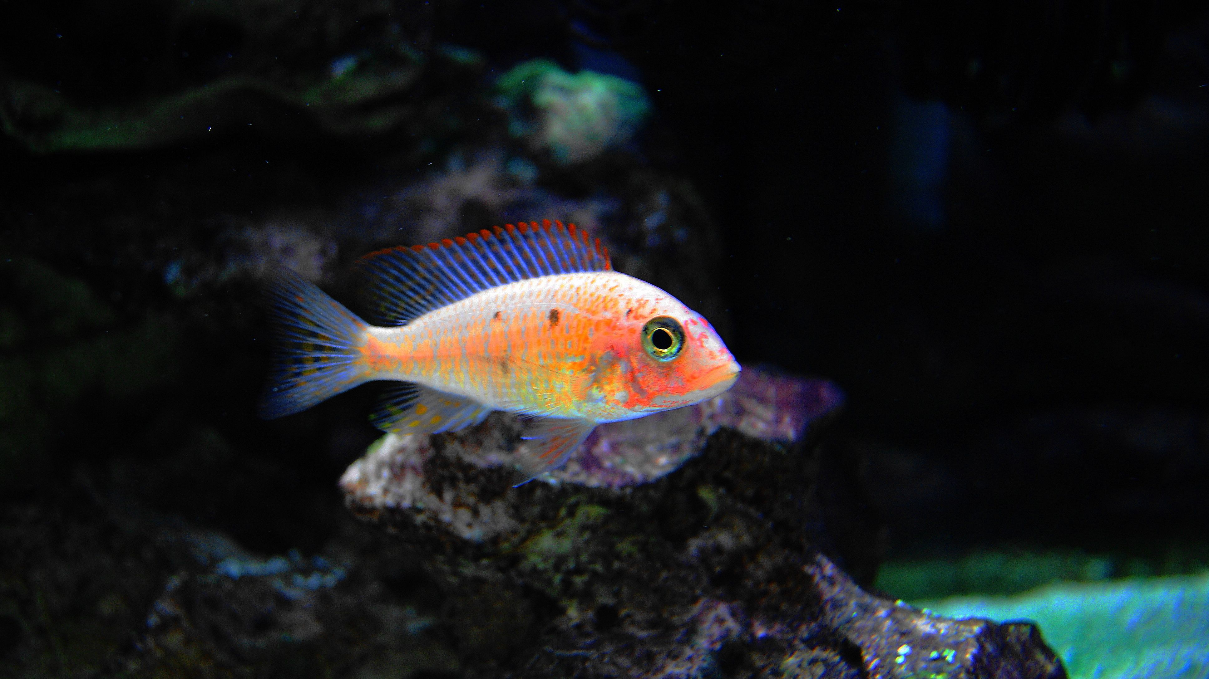 Strawberry Peacock Cichlids African Cichlids Aquarium Fish