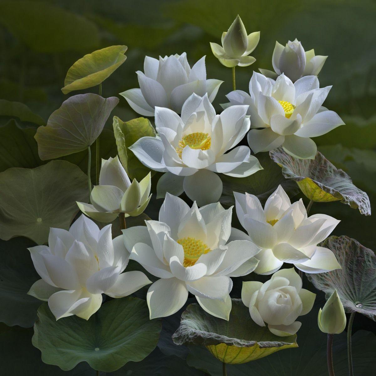 Lotus Dqd White Lotus Pinterest Lotus
