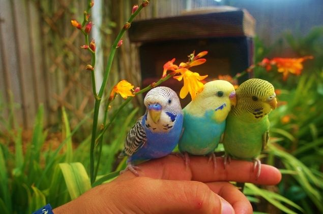 budgie - Google Search