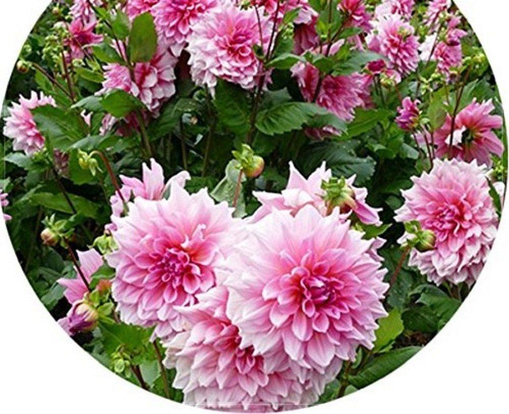 Amazon seeds market rare pink red dahlia flower seeds 50 amazon seeds market rare pink red dahlia flower seeds 50 seeds izmirmasajfo