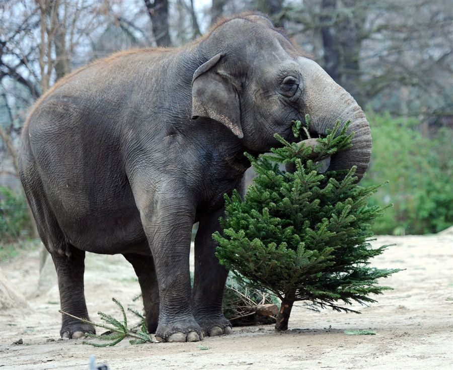 Ever year after Christmas, handlers at the Zoologischer Garten Zoo in Berlin, Germany, feed their elephants discarded Christmas trees thrown away by Berlin residents as well as unsold trees from vendors.