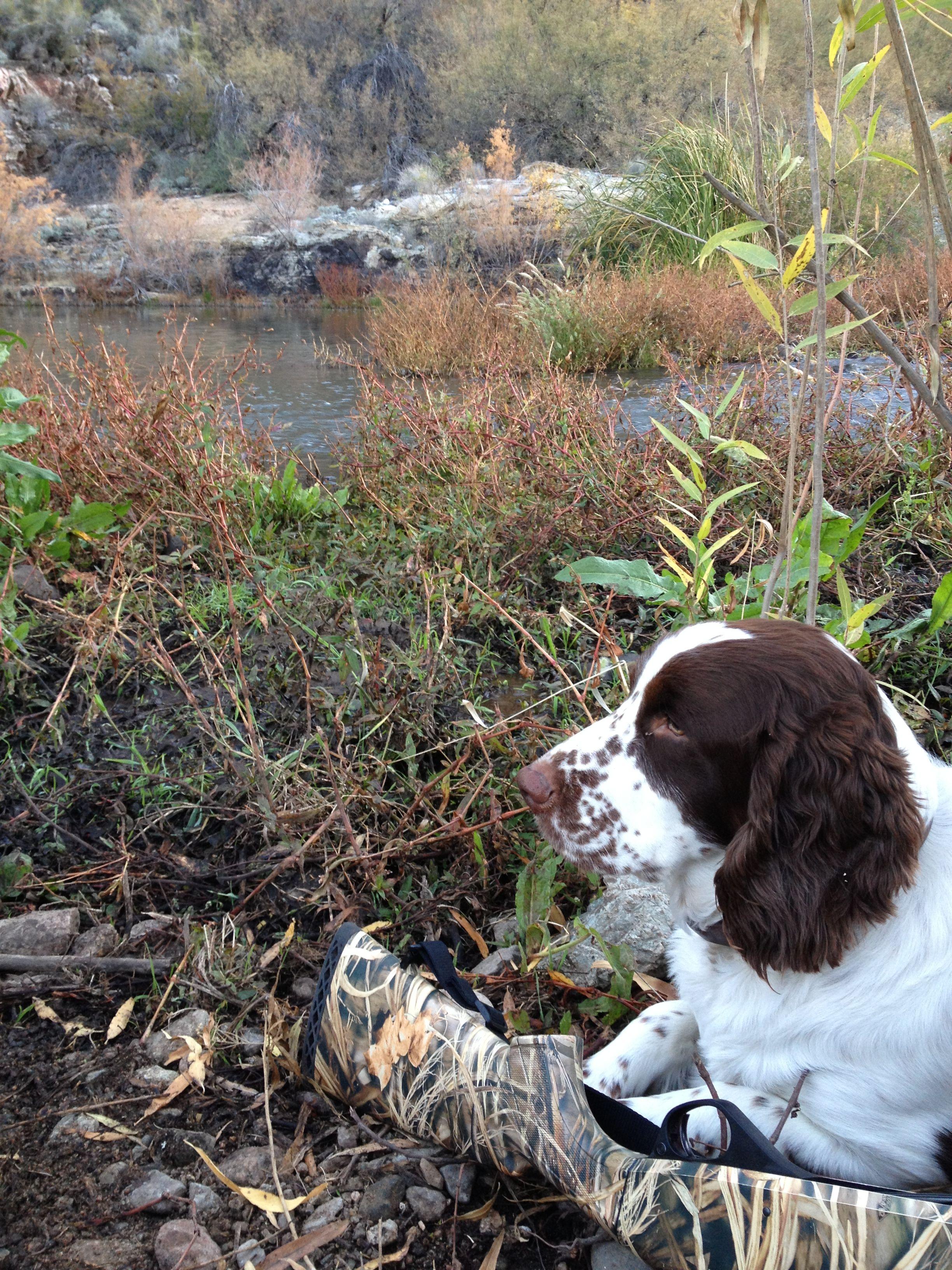 English Springer Spaniel Hunting Duck hunting AZ...