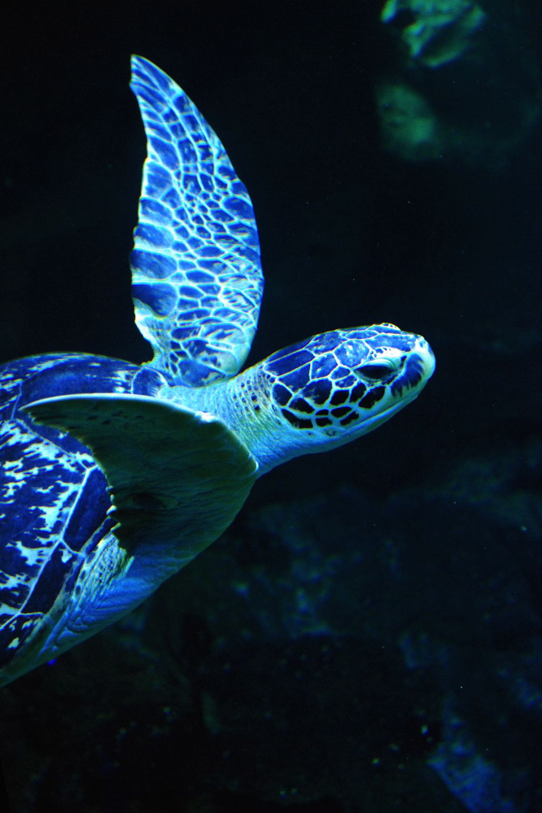 Blue baby turtles - photo#29