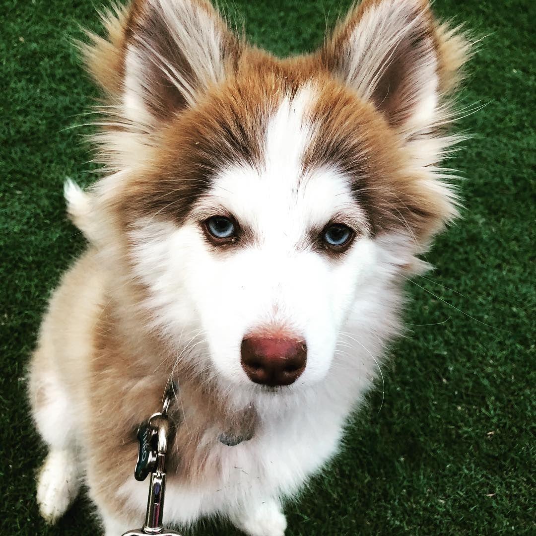 How big do pomsky get pomsky pomsky dog pomsky puppies
