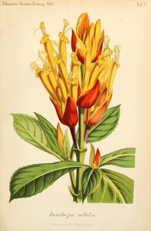 Bd 11 1867 Illustrierte Garten Zeitung Biodiversity Heritage Library Nature Illustration Botanical Illustration Botanical Art