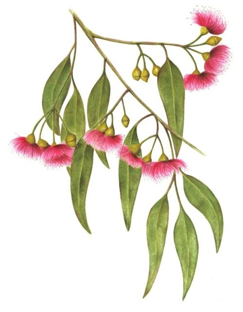 Australian Native Australian Native Flowers Flower Drawing