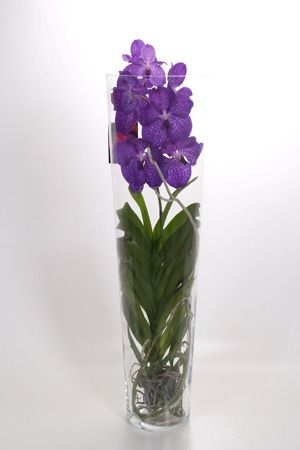 orchidee vanda royal blue