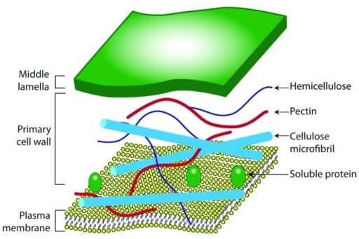 The Plant Cell Wall Structure The Cell Structure Project