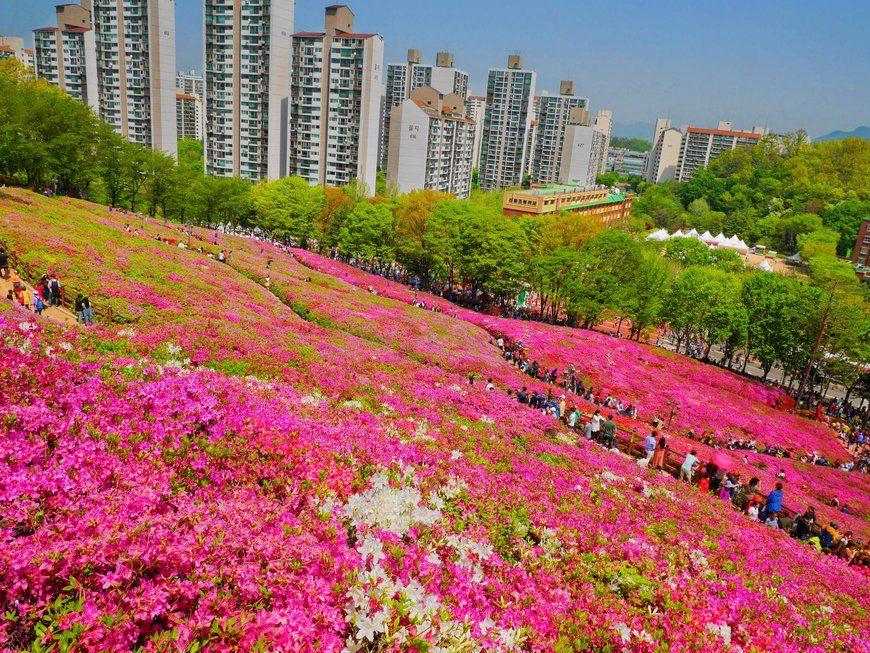 Gunpo Flower Festival 군포 철쭉축제 By Alexis Burkland Photoblog Korea Koreanfestival Flowers Azaleas Azaleafestival Gunp Flower Festival Outdoor Festival