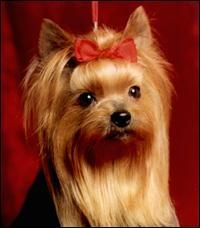 Yorkie Long Hair Google Search Yorkshire Terrier Pinterest
