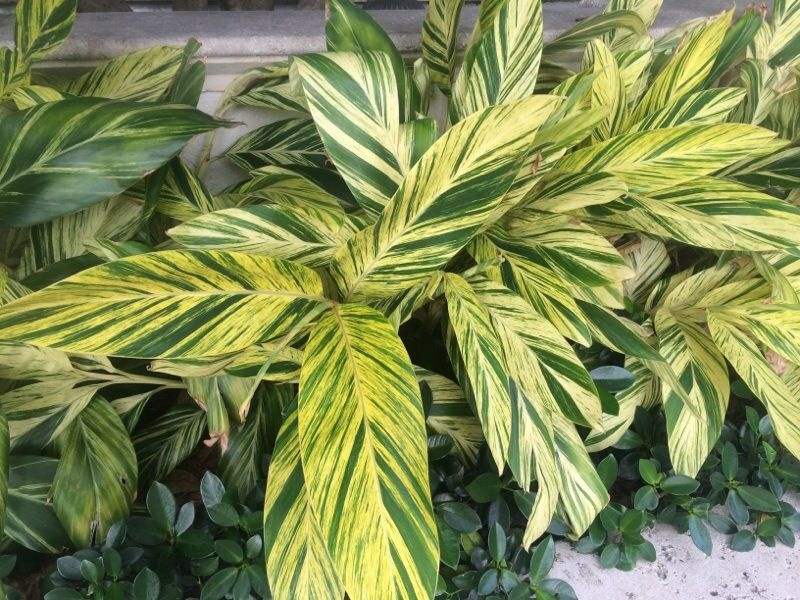 Striped Ginger Alpinia Zerumbet Variegata Striped Ginger Is A Beautiful Plant That Can Grow In Deep Shade Or Partial Su Variegated Plants Plants Easy Plants