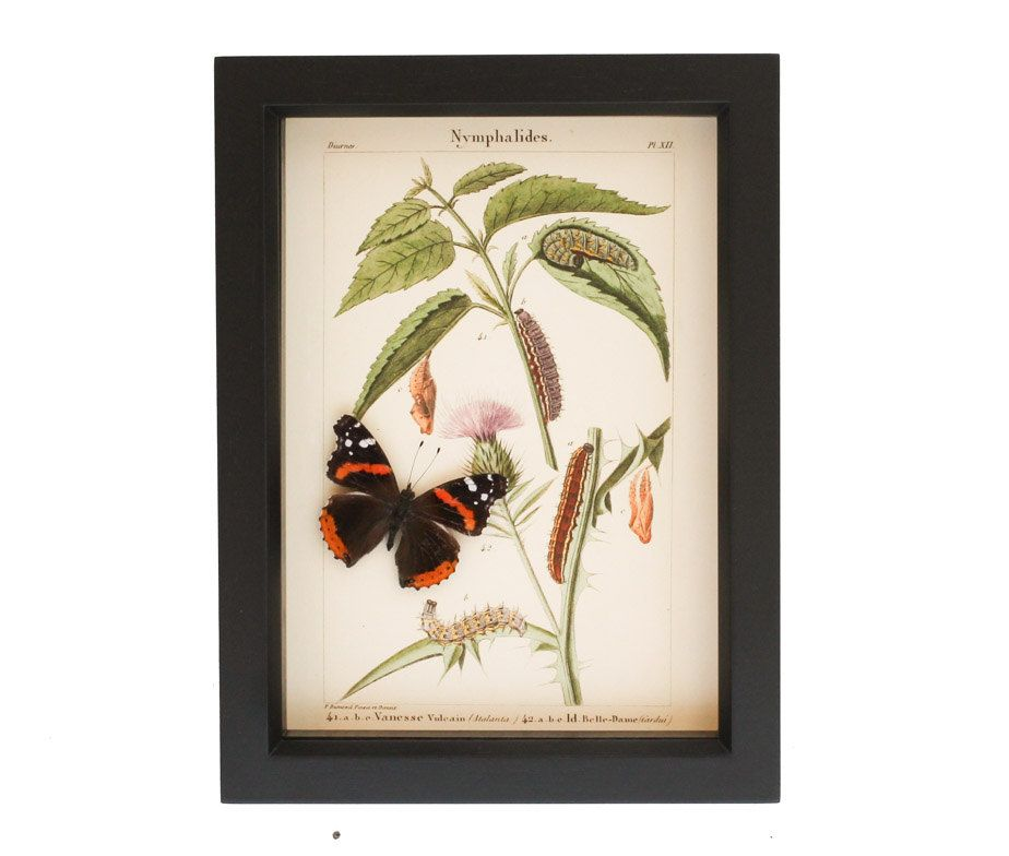 A Unique Framed Butterfly Piece Displaying The Life Cycle