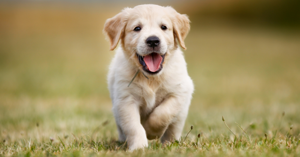 Dog Age Calculator Convert By Breed To Human Years Golden Retriever Names Japanese Dogs Retriever Puppy