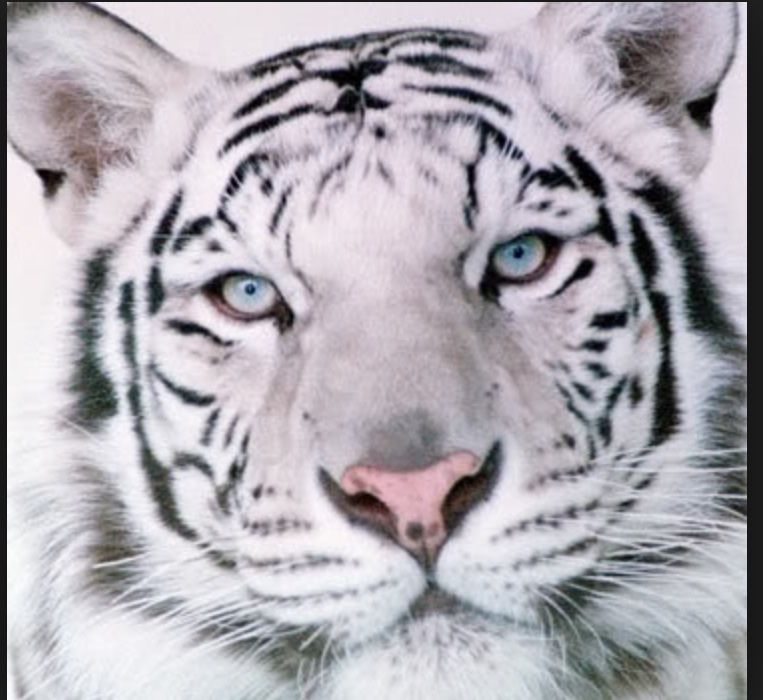 This tiger reminds me of Ren from the Tiger's Curse series. BTW, I am Team Kishan
