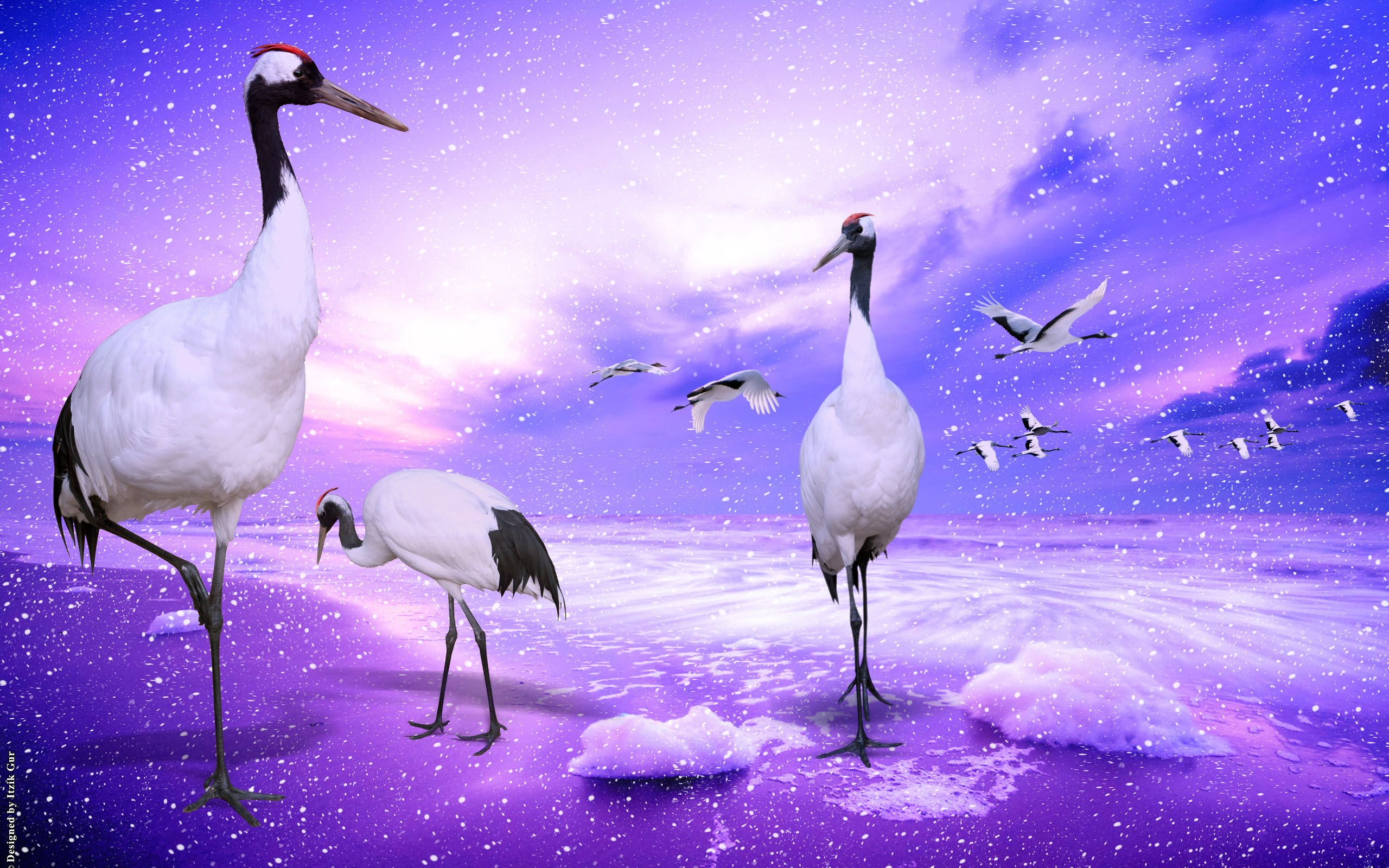red crowned cranes japan wallpaper - http://www.56pic/animals