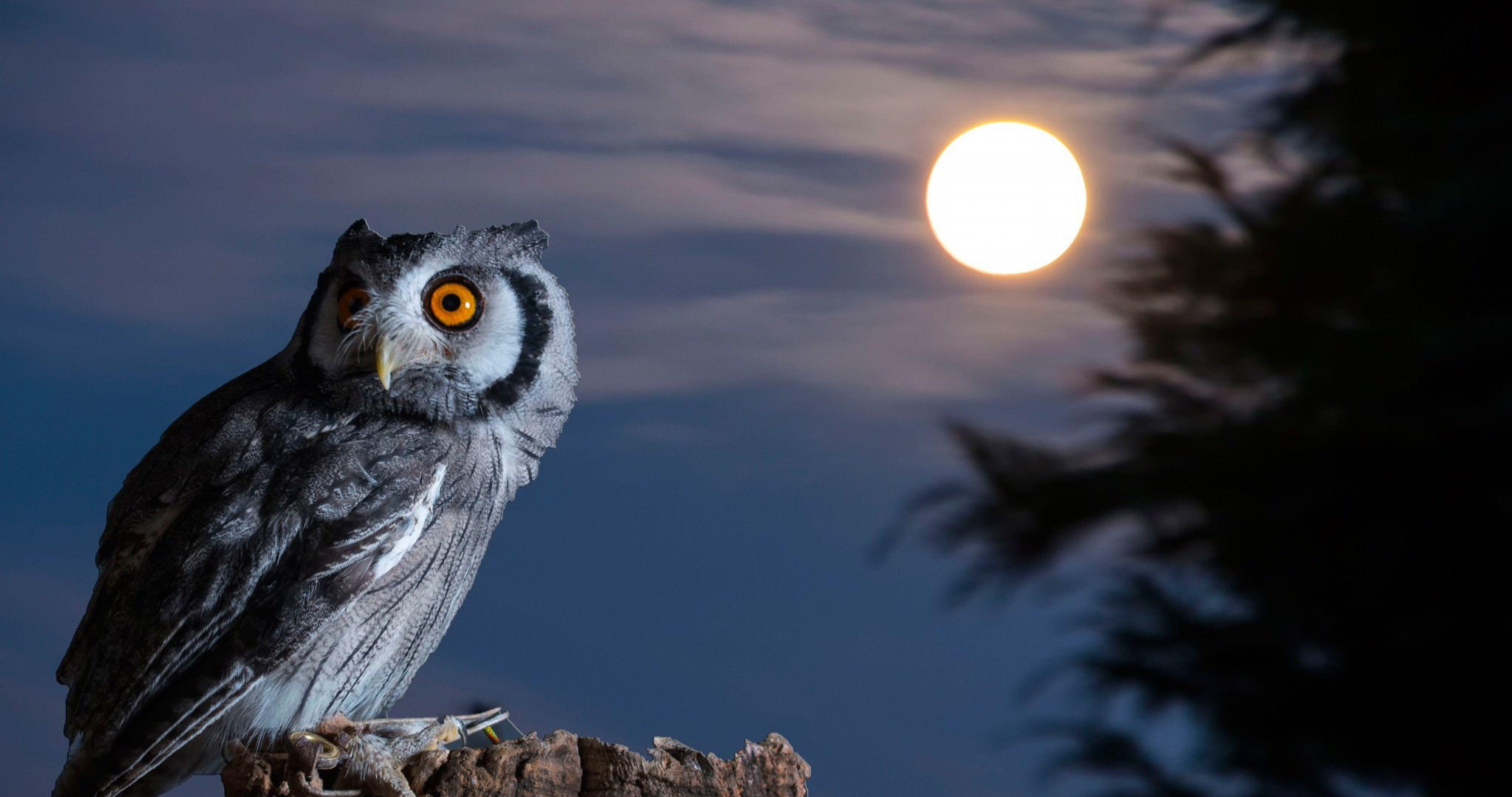 night bird owl 4k ultra hd wallpaper ololoshenka