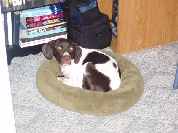 Sweet Pointer Mix Free To Good Home Springfield Mo Pets