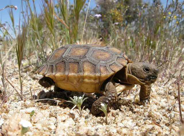 A new study of desert tortoise populations in the western Mojave Desert shows that the reptiles fare better when they're protected from off-road vehicles and grazing livestock.