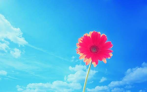 無料壁紙 ガーベラの花の可愛い写真画像まとめ ピンク オレンジ 紫色 季節の生花種類 ガーベラ 青空 写真