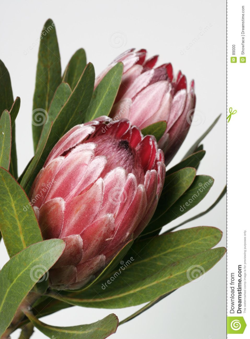 Protea Also Known As Bearded Sugarbushes The Flower Is Surrounded By Colourful Velvety Bracts Which Slowly Open U Australian Flowers Protea Flower Protea Art