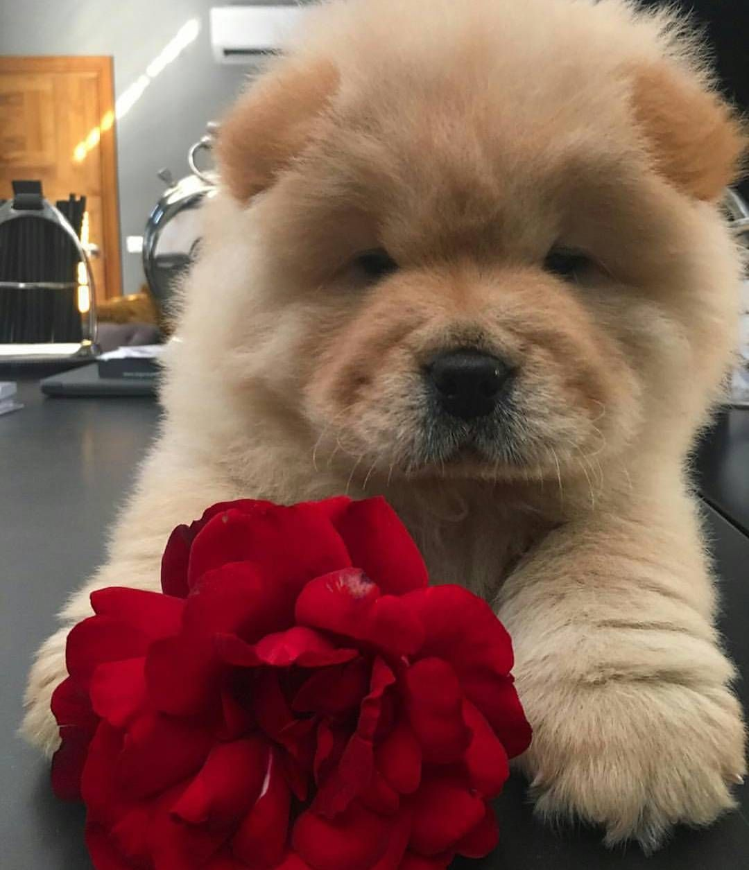 Chow Chow Cute Dogs Cute Animals Fluffy Dogs