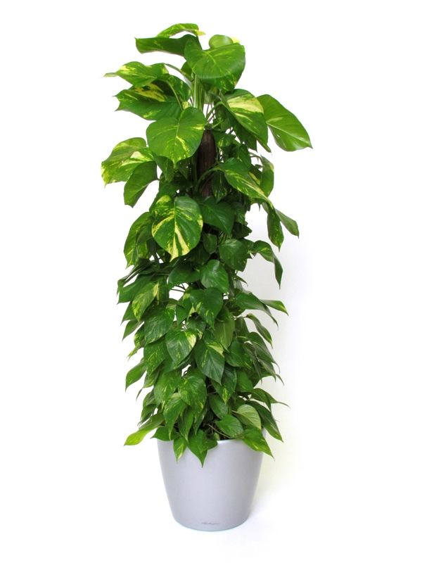 Air Purifying Plants For Bedroom: Money Plant (Epipremnum Aureum), One Of Three Must-have