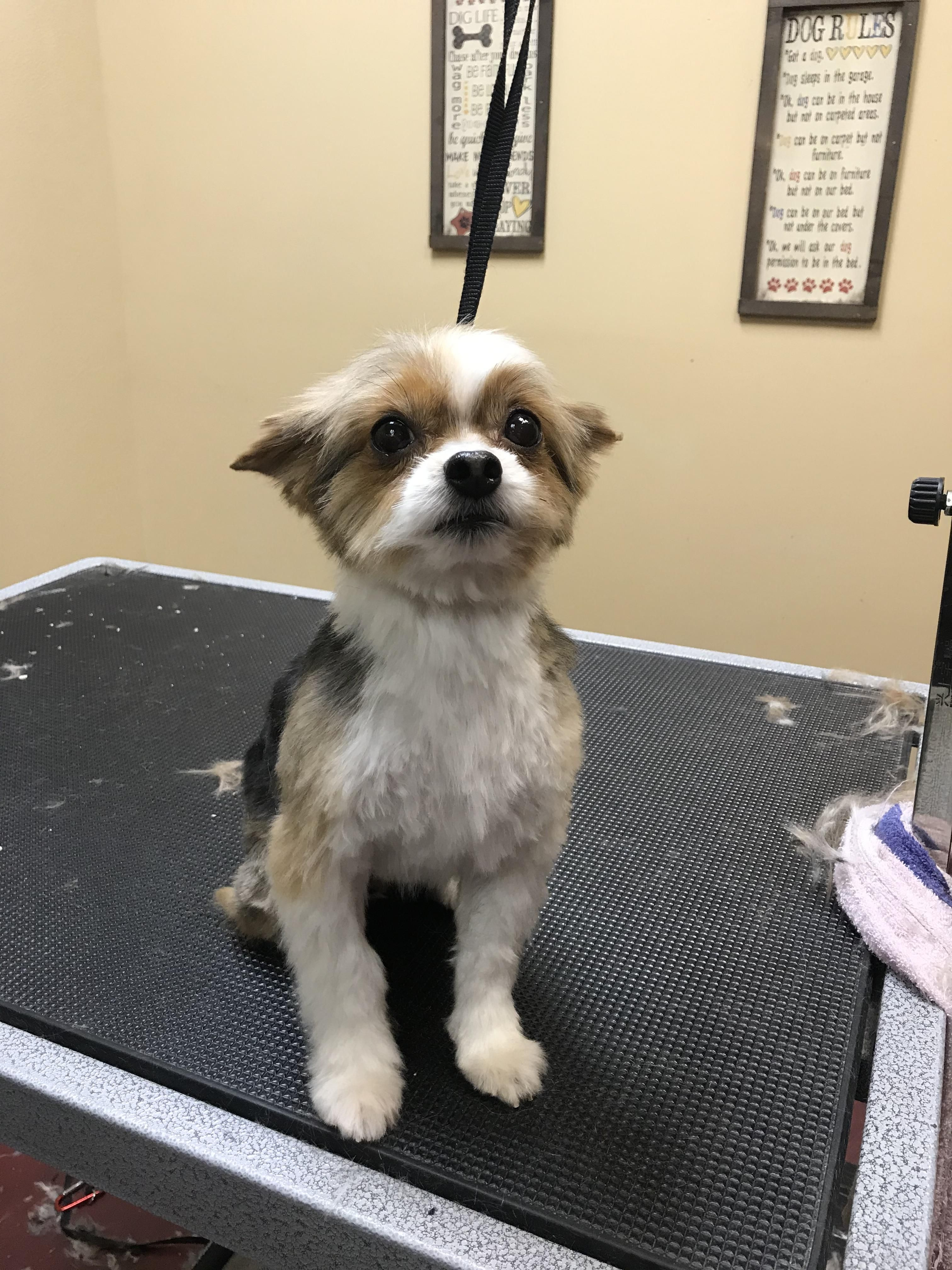 This Little Baby Was So Cute And Well Behaved In 2020 Pets Pet Grooming Healthy Pets