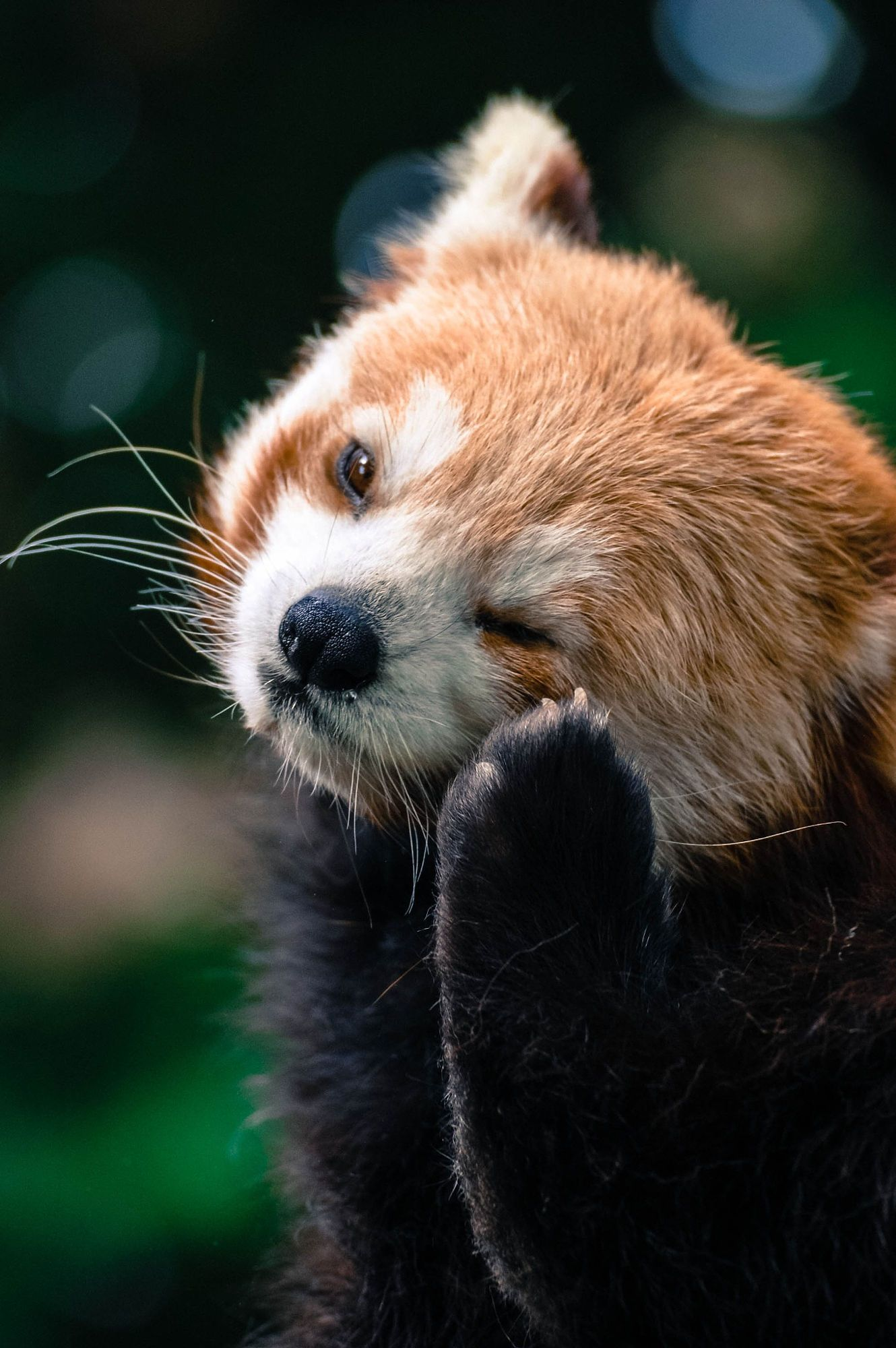Red Panda By Aref Jdey On 500px Red Panda Cute Red Panda