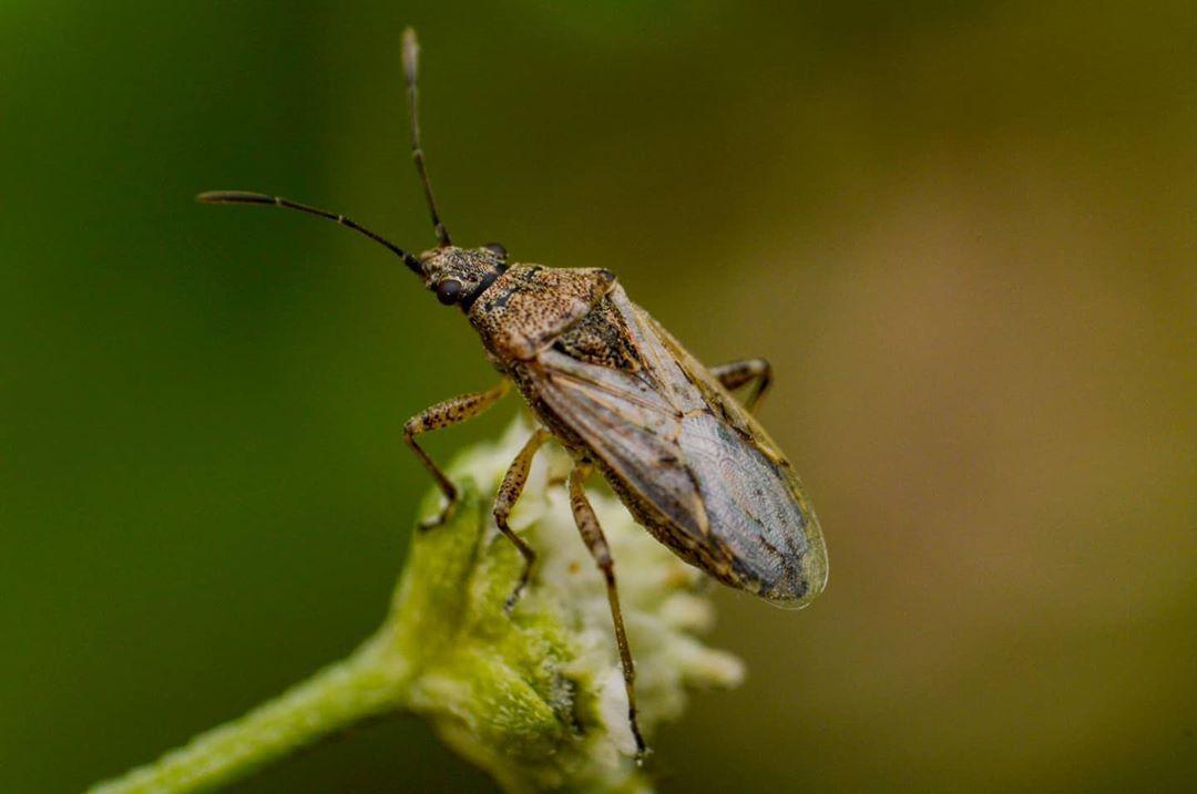 Lygaeidae: Nysius sp. . A los miembros de esta familia les suelen llamar en inglés
