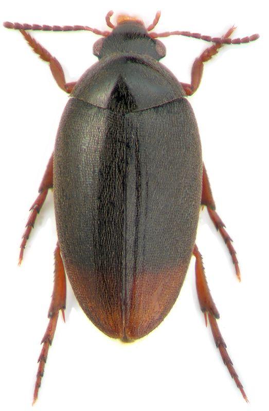 Eucinetidae - Pesquisa Google