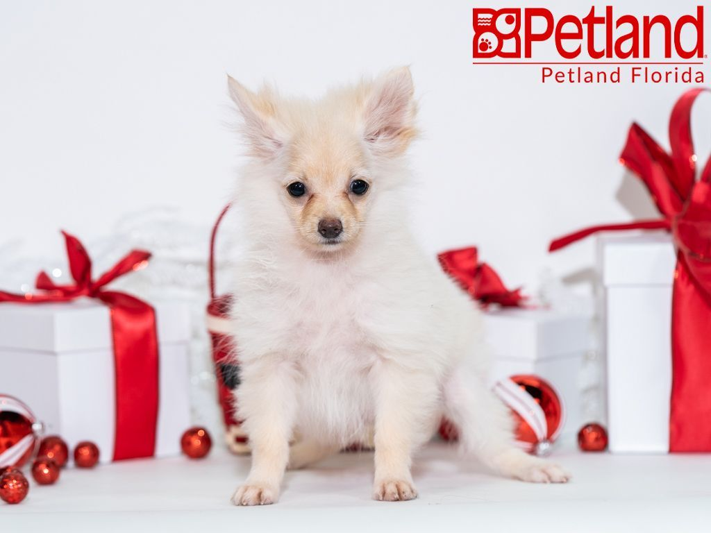 Petland Florida Has Pomeranian Puppies For Sale Check Out All Our