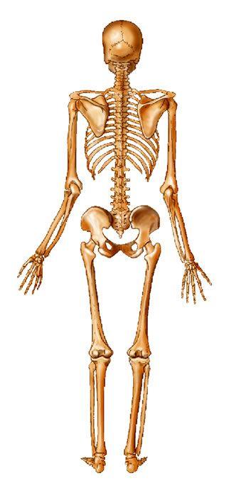 Skeleton posterior view skull bones pinterest skeletons skeleton posterior view ccuart Image collections