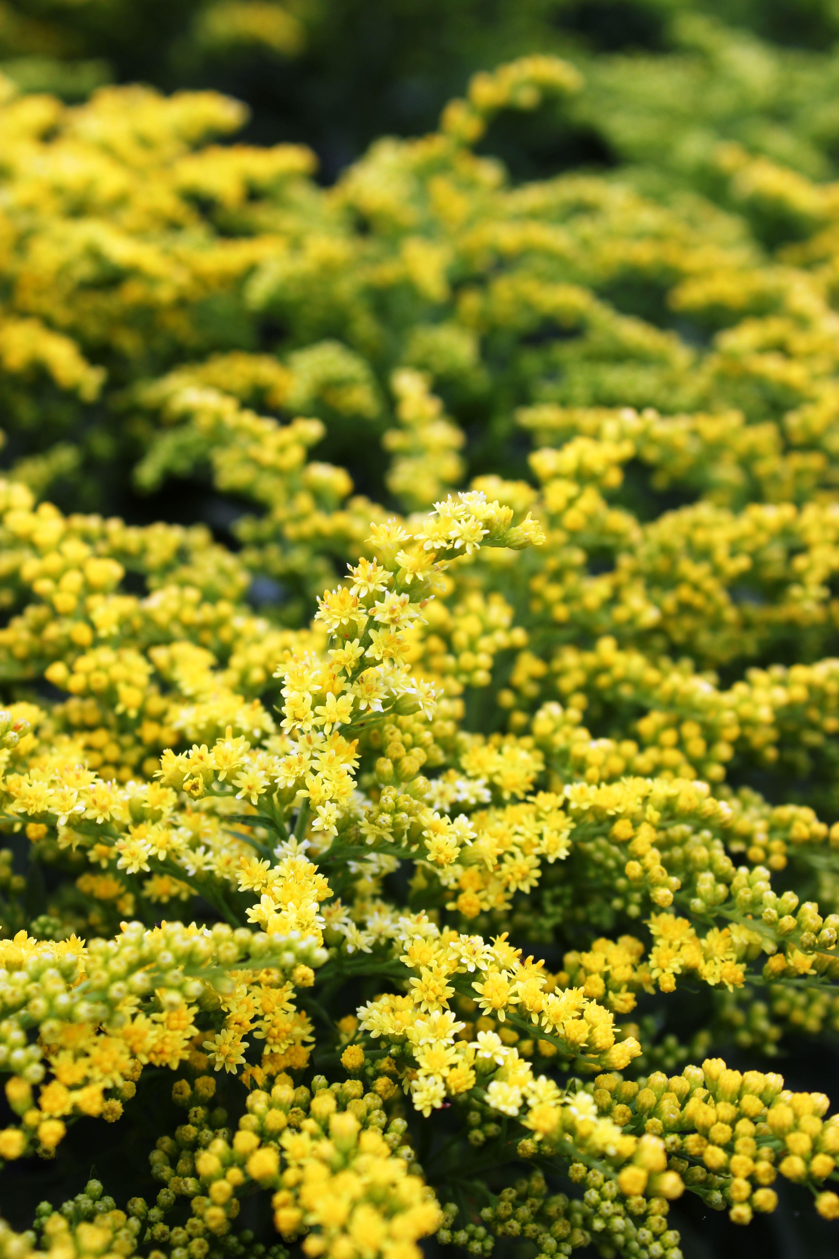 Goldenrod wild flowers native plants perennials