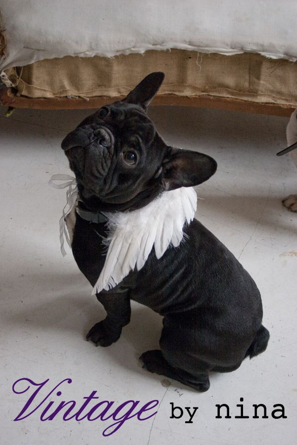Angel Frenchie Bulldog French Bulldog Cute Animals