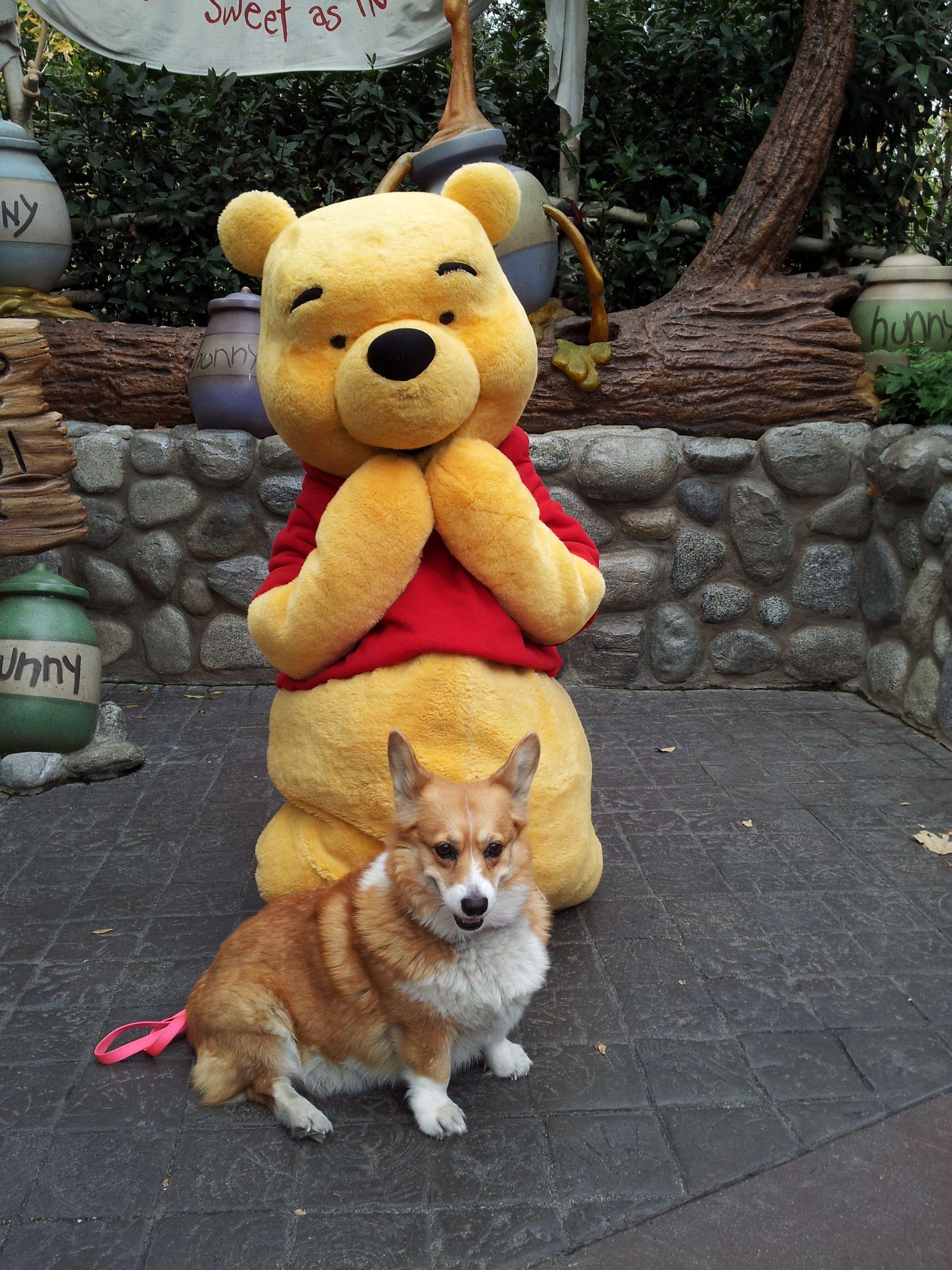 Once Upon A Time A Corgi Went To Disneyland Corgi Funny Dog
