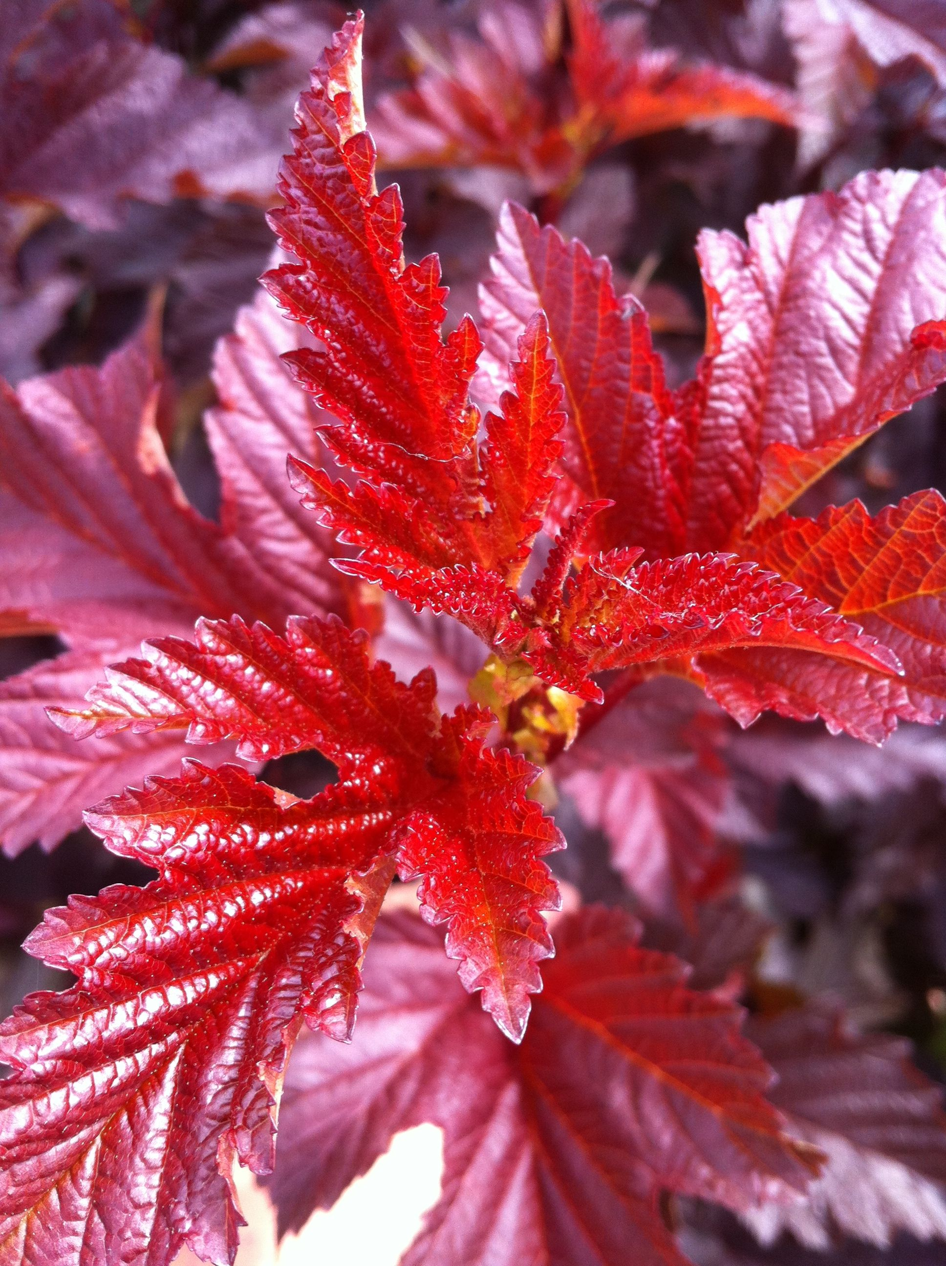 Physocarpus opulifolius lady in red lady in red is a hardy physocarpus opulifolius lady in red lady in red is a hardy shrub with bright red foliage which has many small pale pink flowers that are star shaped mightylinksfo