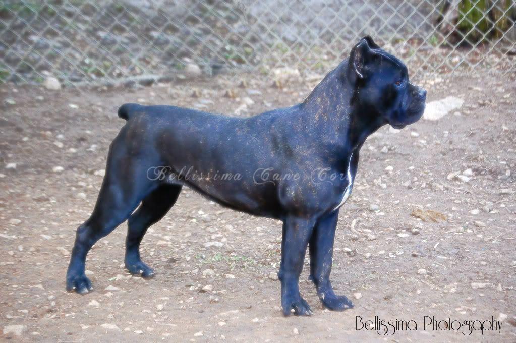 Cane Corso Dogs Cane Corso Puppies Cane Corso Corso Dog