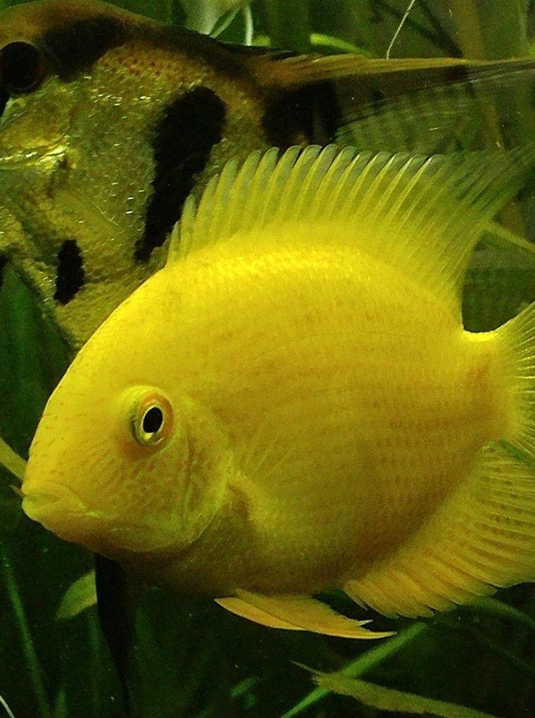 Severum Species Fishaccordingtosteve Com Photo Cred Micah Hale Tropical Fish Aquarium Fish Fish Pet
