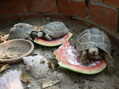 Happy Tortoise Life リクガメ カメ かめ