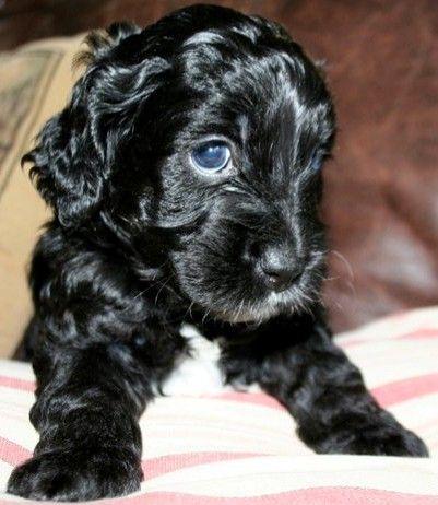 Blue Eyes Yorkshire Terrier Puppies Black Cockapoo Puppies