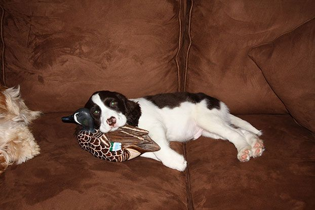 Hank A Springer Spaniel From Greenville South Carolina Dogs Springer Spaniel Puppies Springer Spaniel