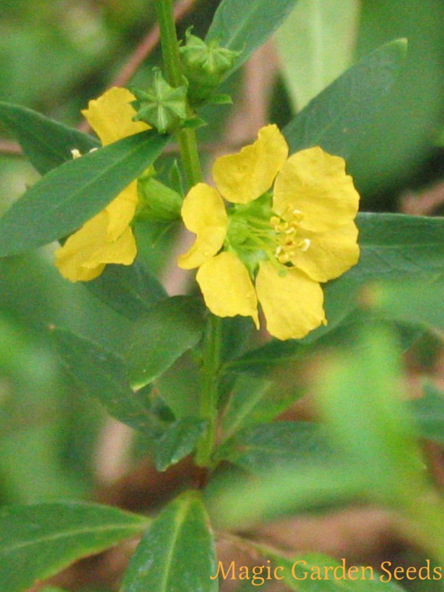 Echter Kaffeestrauch Samen schnellwüchsige immergrüne einfache Zimmerpflanze