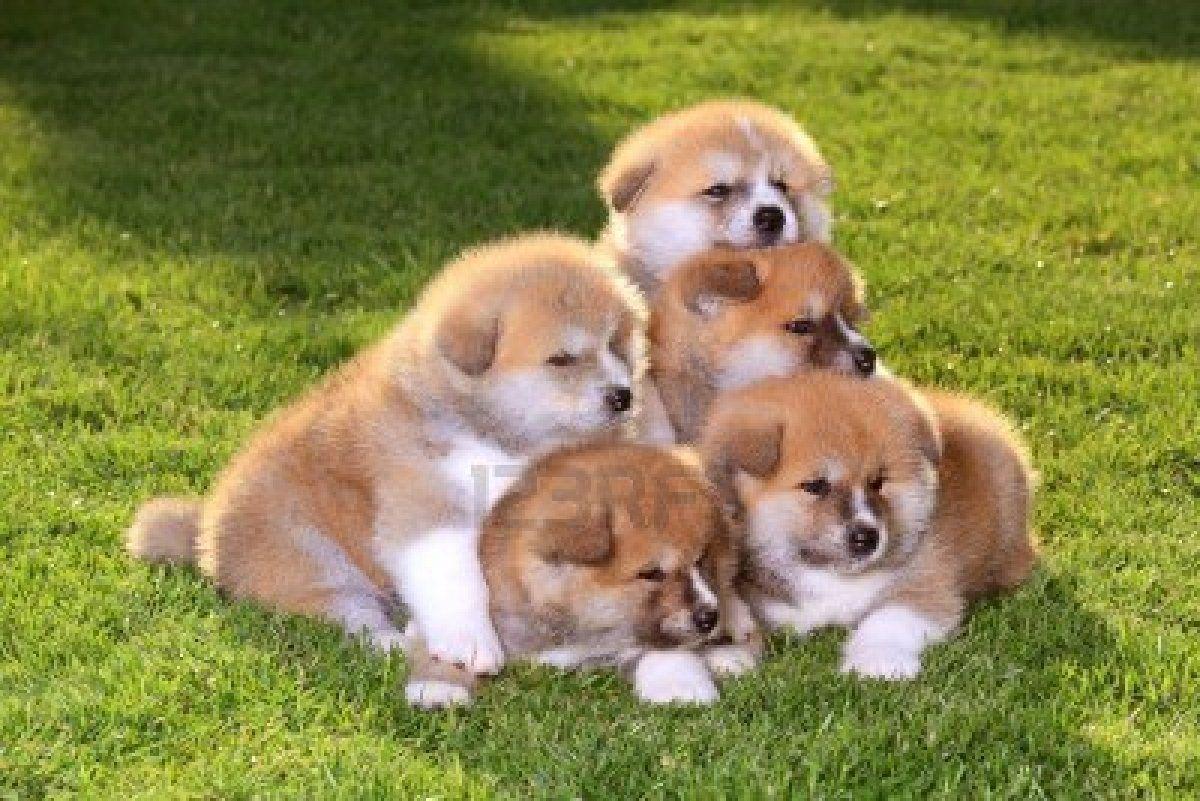 Five Akita Inu Puppy Dog