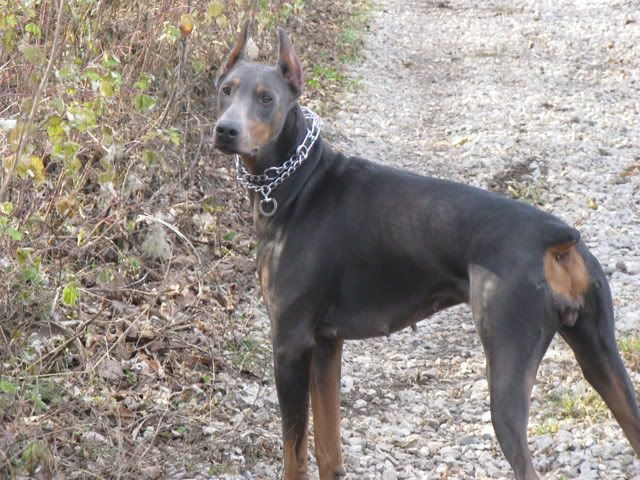 Blue Doberman Blue Doberman Color Mutant Alopecia Experiences