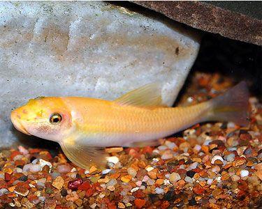 13 Best Algae Eaters For Your Aquarium Keep The Aquarium Clean Algae Eater Fish Pet