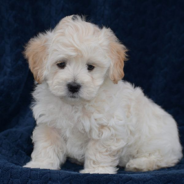 Kaspian Maltipoo Puppy For Sale in Pennsylvania