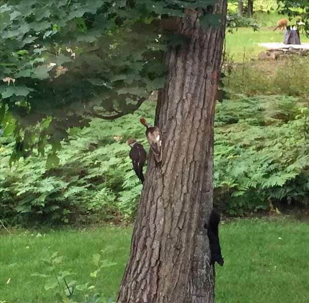 strange pileated woodpecker