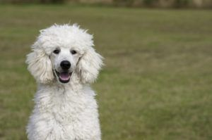 Poodle Dogs 101 Top 10 Interesting Facts About Poodles Dog